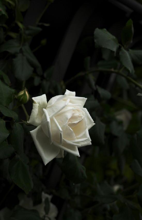 薔薇-533