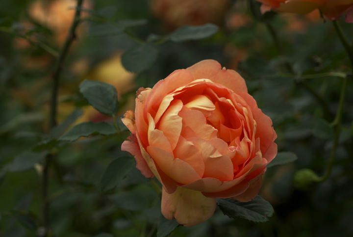 薔薇-544-1