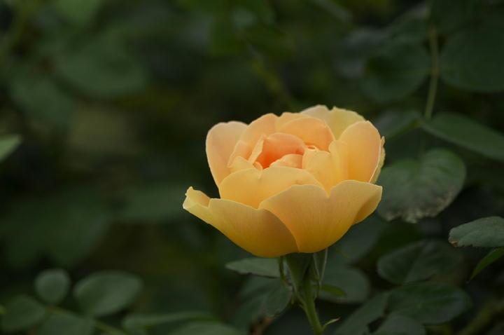 薔薇-545