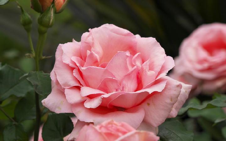 薔薇-547