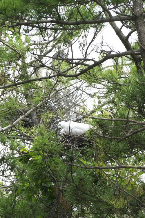 白鷺のコロニー611-3333