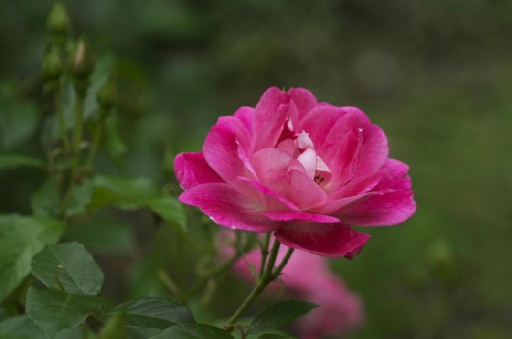 薔薇-551