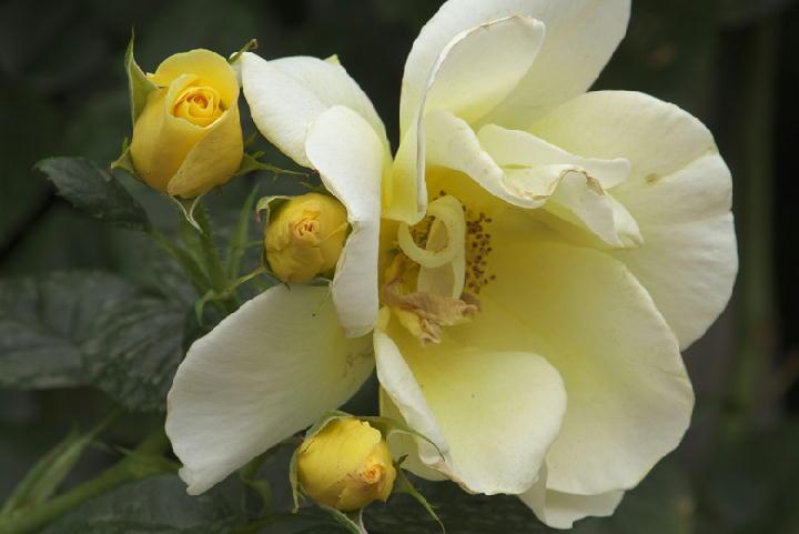 薔薇-578