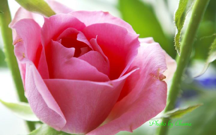 薔薇-783-1