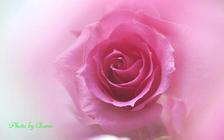 薔薇-793