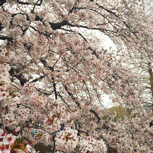 ゆうブログケロブログ花見と春 (6)