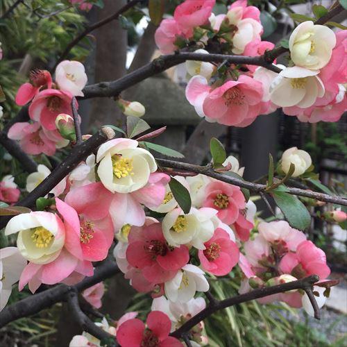 ゆうブログヶロブログ鎌倉2016春 (6)