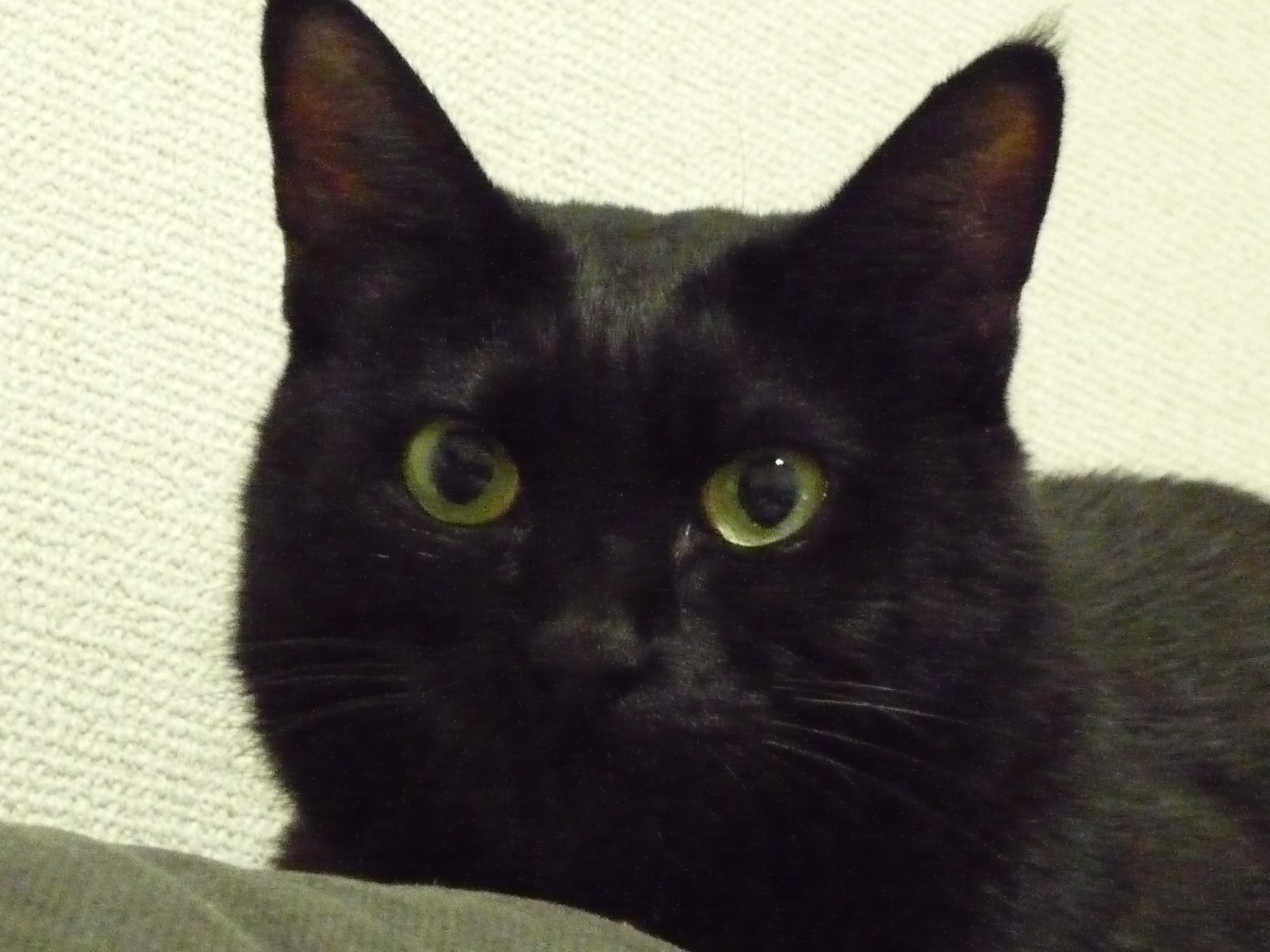 黒猫 7歳