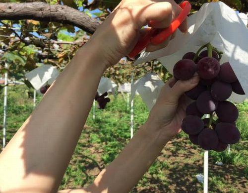 勝沼インターほったらかし温泉オススメ評判の良いぶどう狩り農園大々園口コミ品種が多い珍しい品種の葡萄無農薬減農薬