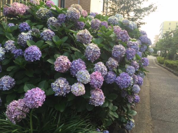 夕方の紫陽花1_convert_20160710183935