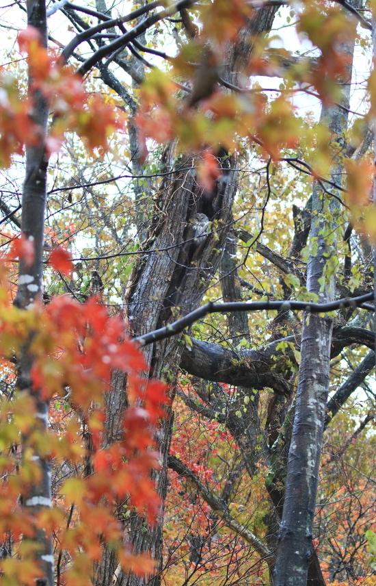 378 紅葉とフクロウ0001