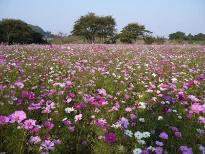 しまばら芝桜公園(1)
