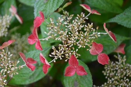 160623紅紫陽花 (3)