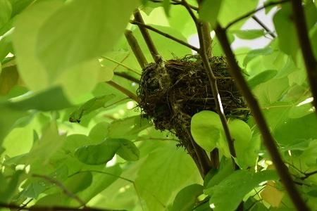 160623ヒヨドリの巣 (2)