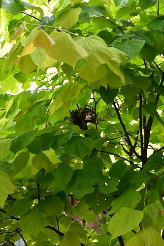 160623ヒヨドリの巣 (4)