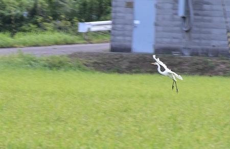 160808白鷺 (1)