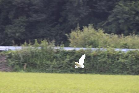 160808白鷺 (2)