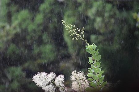 160829雨の庭 (1)