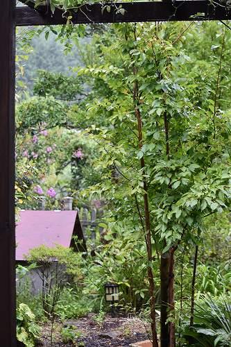 160829雨の庭 (2)