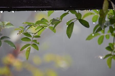 160829雨の庭 (3)