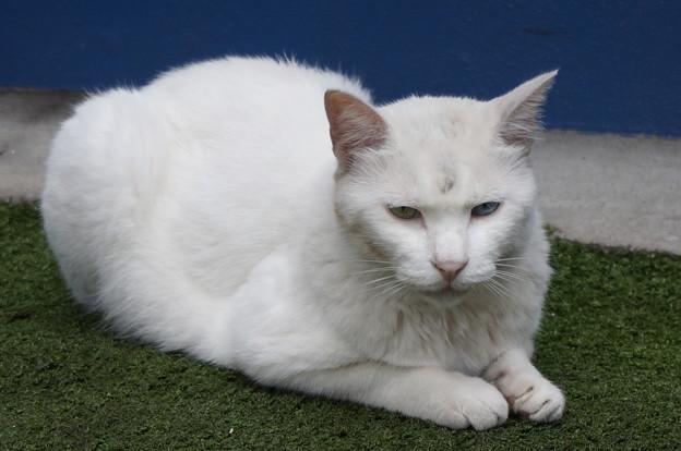 小道にたたずむ白猫さん