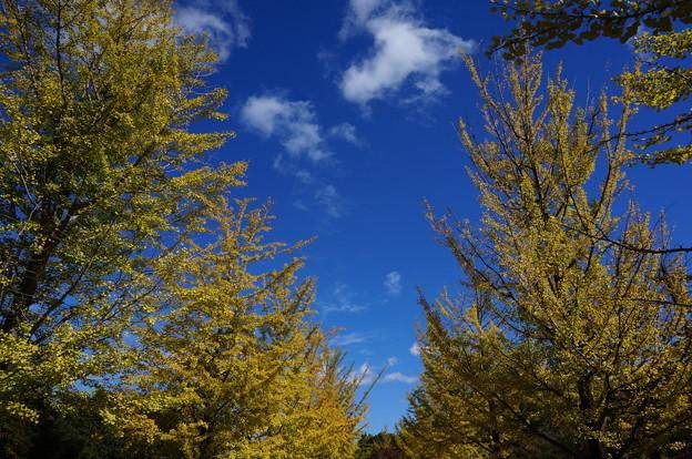 イチョウ並木と青空