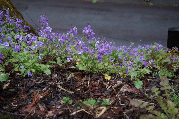 桜の木の根元に紫の花