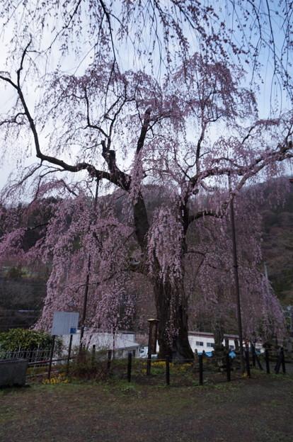 枝垂桜の木