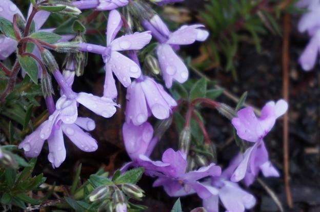 雨に濡れた地面の花