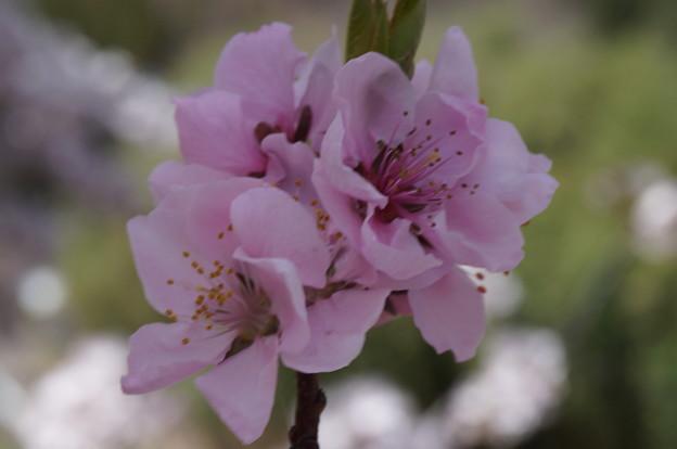 別の種類の桜?