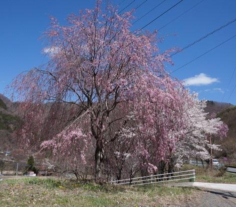 国道沿いの枝垂桜