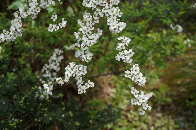 枝垂れた白い花