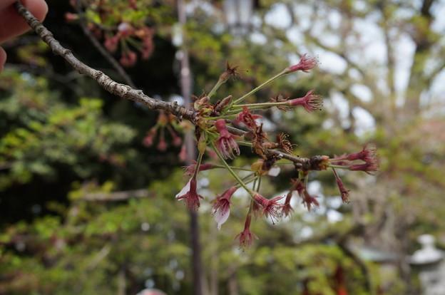 桜は終わりました