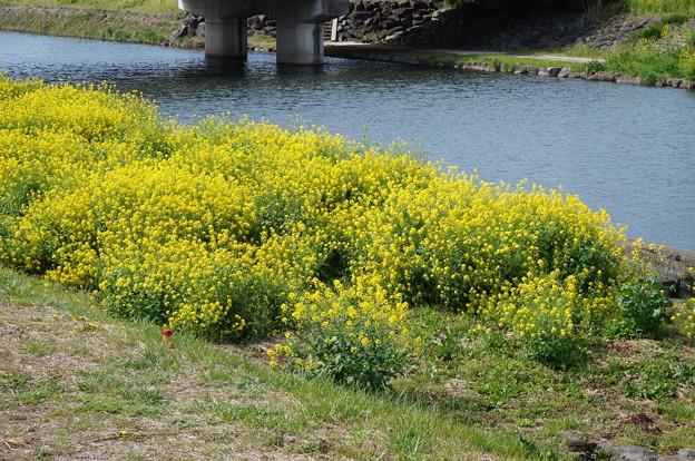 河原に咲く菜の花