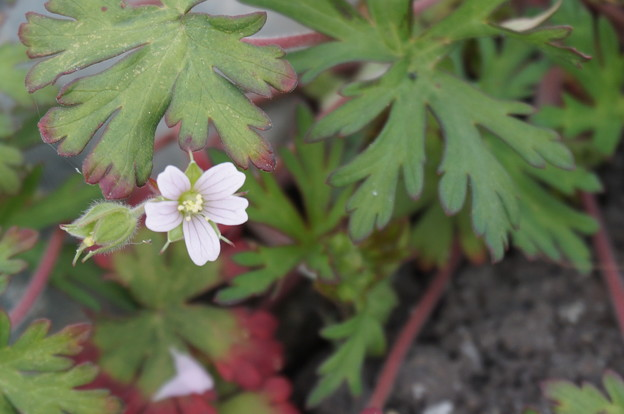 駐車場に咲く白い花