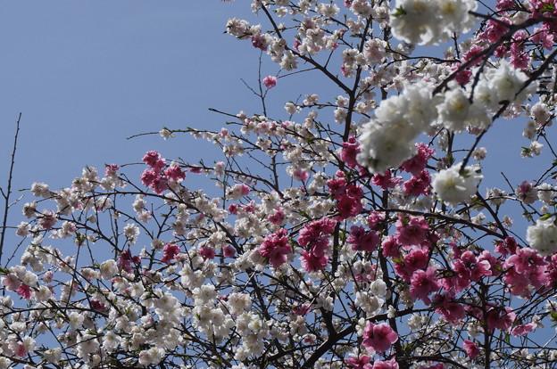 一本の木から二色の花(゚д゚)!