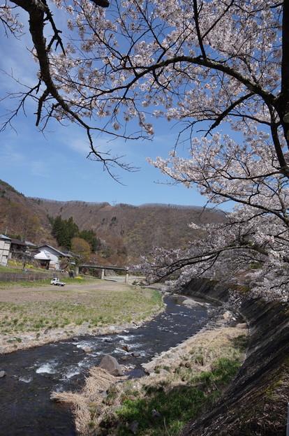 川沿いの桜並木ラスト