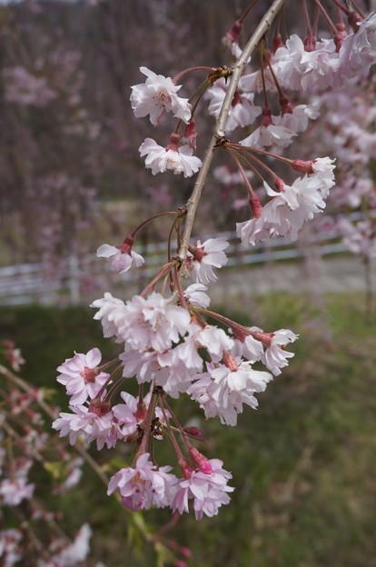 枝垂れ桜は見納め