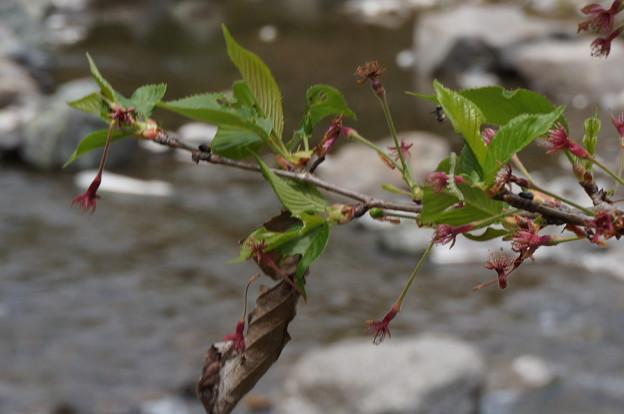 終わった桜の中に、