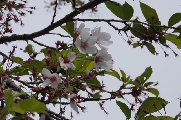 まだ頑張ってる桜が!
