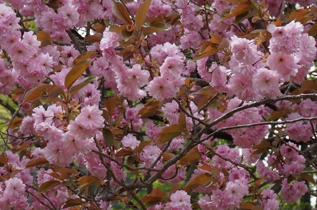 八重桜?その1