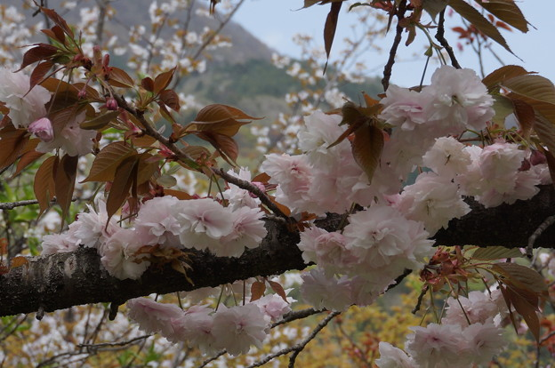 八重桜?その3