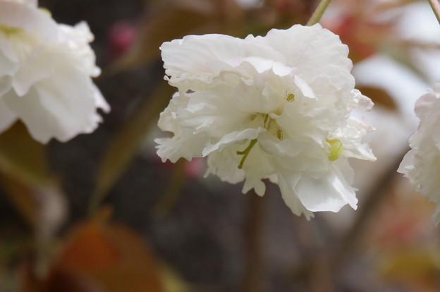 八重桜?その4