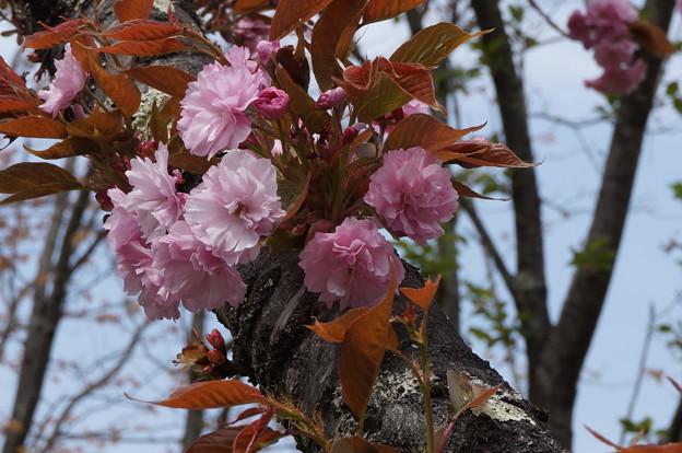八重桜?その2