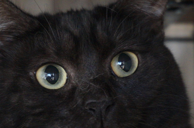 超美猫の木花ちゃん