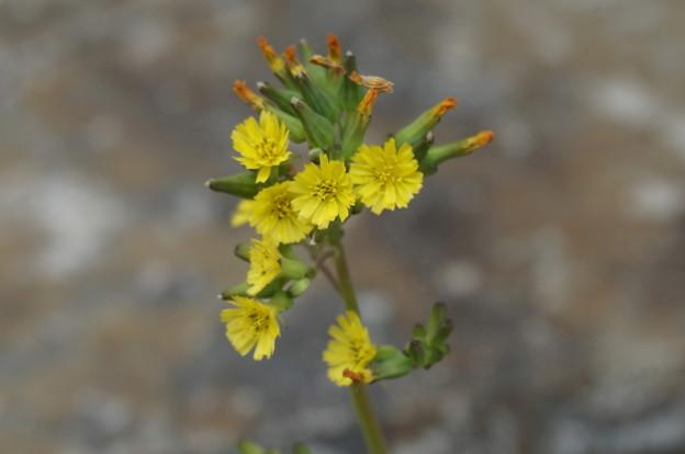 新たに見つけた黄色い花
