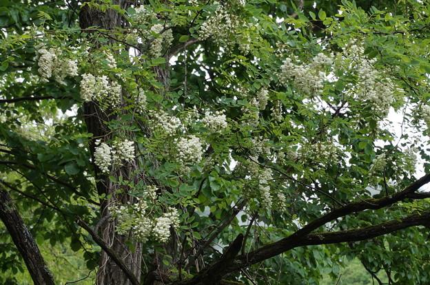 白い藤その1