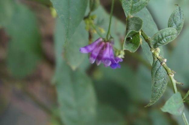 ムラサキの小さなお花