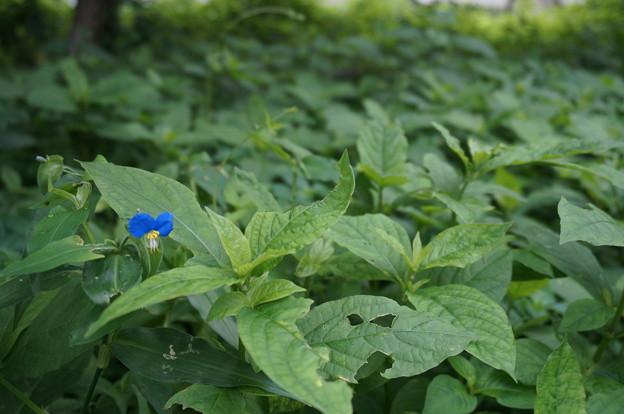 この青い花は・・・!