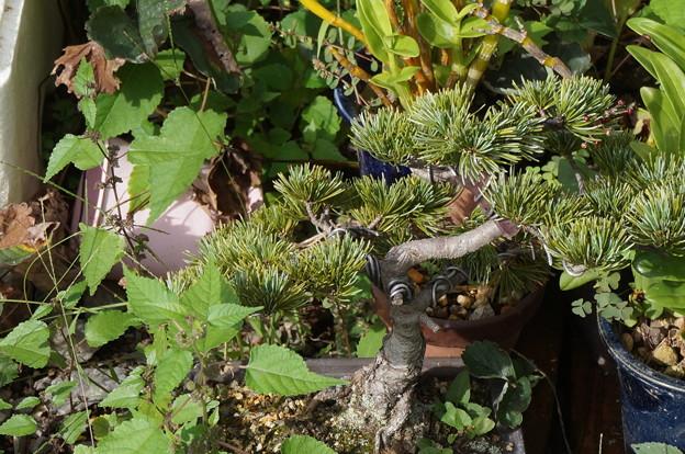 形見の盆栽